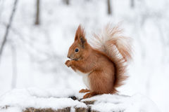 Cute fluffy squirrel eating nuts on a white snow in the winter forest. Royalty Free Stock Photos