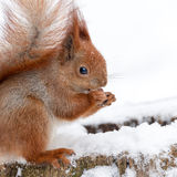 Cute fluffy squirrel eating nuts on a white snow in the winter forest. Royalty Free Stock Photography