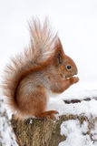 Cute fluffy squirrel eating nuts on a white snow in the winter forest. Royalty Free Stock Images