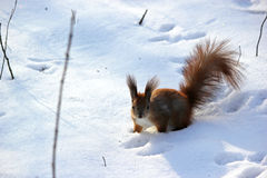 Cute fluffy squirrel eating nuts in the winter forest. Royalty Free Stock Photos
