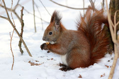 Cute fluffy squirrel eating nuts in the winter forest. Royalty Free Stock Image