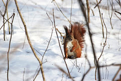 Cute fluffy squirrel eating nuts in the winter forest. Stock Photos