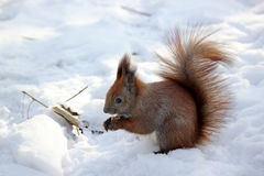 Cute fluffy squirrel eating nuts in the winter forest. Royalty Free Stock Photo