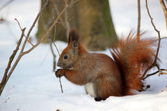 Cute fluffy squirrel eating nuts in the winter forest. Royalty Free Stock Images