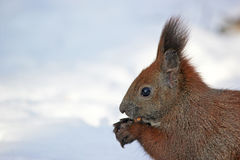Cute fluffy squirrel eating nuts in the winter forest. Stock Photo