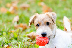 Cute fluffy terrier dog playing with red small ball. Jack Russell Terrier pet playing at fall park Royalty Free Stock Photos