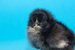 cute, fluffy thoroughbred chicken with a small beak on a blue background royalty free stock photo
