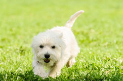 Cute fluffy West Highland White Terrier dog running on camera Royalty Free Stock Photography