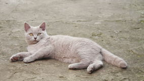 Cute Fluffy White Cat Lying in the Yard. On the ground and looking eyes. Full HD 1920 x 1080p, 29,97 fps stock video footage