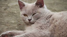 Cute Fluffy White Cat Lying in the Yard. On the ground and looking eyes. Full HD 1920 x 1080p, 29,97 fps stock footage