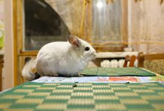 Cute fluffy white chinchilla is sitting in the room. Pet at home. White fur and friendly animal. Adorable chinchilla royalty free stock photography