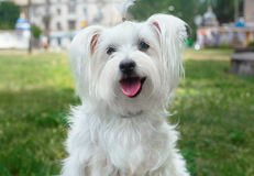 Cute fluffy white dog. In the city Royalty Free Stock Photography