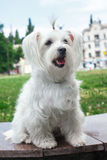 Cute fluffy white dog. In the city Royalty Free Stock Image
