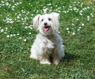 Cute fluffy white dog on the grass. In the park Royalty Free Stock Photography