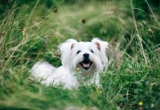 Cute fluffy white dog on the grass. A portrait of cute fluffy white dog on the grass on field Royalty Free Stock Images
