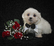 Cute Fluffy White Puppy Royalty Free Stock Photography