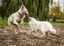 Cute, fluffy, white Samoyed plays with golden retriever. A Samoyed puppy bares her teeth at a Golden Retriever, while playing at a public dog park stock photos