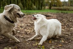 Cute, fluffy, white Samoyed plays with golden retriever. A Samoyed puppy bares her teeth at a Golden Retriever, while playing at a public dog park stock images
