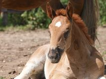 Cute Foal. A chestnut foal sits in a paddock Royalty Free Stock Images