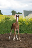 Cute foal in field. Close up of cute young foal in countryside Stock Photography