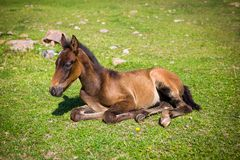 Cute foal on the grass. Cute foal lying on the grass Royalty Free Stock Images