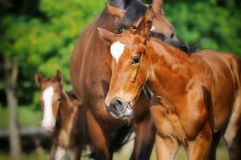 Cute foal and herd of horses. Cute little foal and herd of horses Royalty Free Stock Images