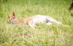 Free Cute Foal Horse With White Spot On Forehead Sleeping In The Meadow Royalty Free Stock Image - 164122616