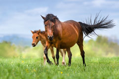 Cute foal and mare. Bay mare and foal walk on spring meadow against blue sky Royalty Free Stock Image