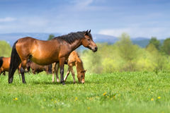 Cute foal and mare. Bay mare and foal walk on spring meadow against blue sky Stock Image