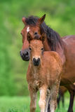 Cute foal and mare. Close up portrait outdoor Stock Images