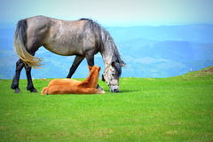 Cute foal and mare Stock Photography