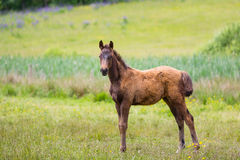 Cute foal on a meadow. Foal on a green meadow in summer Stock Photo