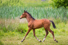 Cute foal on a meadow. Foal on a green meadow in summer Royalty Free Stock Photos