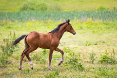 Cute foal on a meadow. Foal on a green meadow in summer Royalty Free Stock Photography