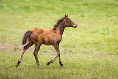 Cute foal on a meadow. Foal on a green meadow in summer Stock Images