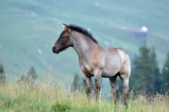 Cute foal on mountain pasture. In summer Royalty Free Stock Images