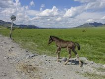 Cute foal run gallop. On the mountain road Royalty Free Stock Photos