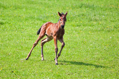 Cute foal running in the paddock. Cute foal running on the grass of the paddock Royalty Free Stock Photos