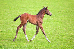 Cute foal walks on the paddock Royalty Free Stock Photos