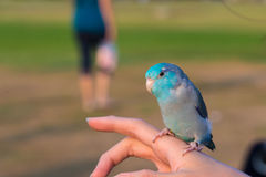 Cute Forpus Bird on hand Stock Photos