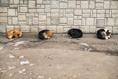 Cute four street dogs slipping together Royalty Free Stock Photos