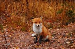 Cute fox. Wild fox in its natural habitat royalty free stock photos