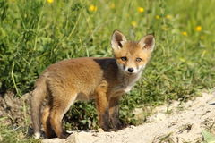 Cute fox cub looking at camera Royalty Free Stock Image