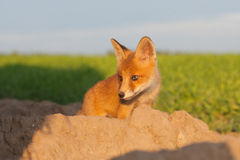 Cute fox cub. Looking right Royalty Free Stock Photos