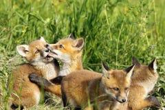 Cute fox cub playing Stock Photos