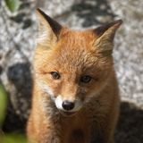 Cute fox portrait Stock Image