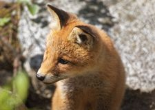 Cute fox portrait Royalty Free Stock Photos