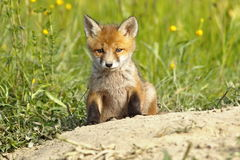 Cute fox puppy Royalty Free Stock Image