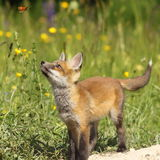 Cute fox puppy looking after butterfly Stock Images