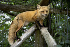 Cute fox. Cute red fox in its zoo cage Royalty Free Stock Images